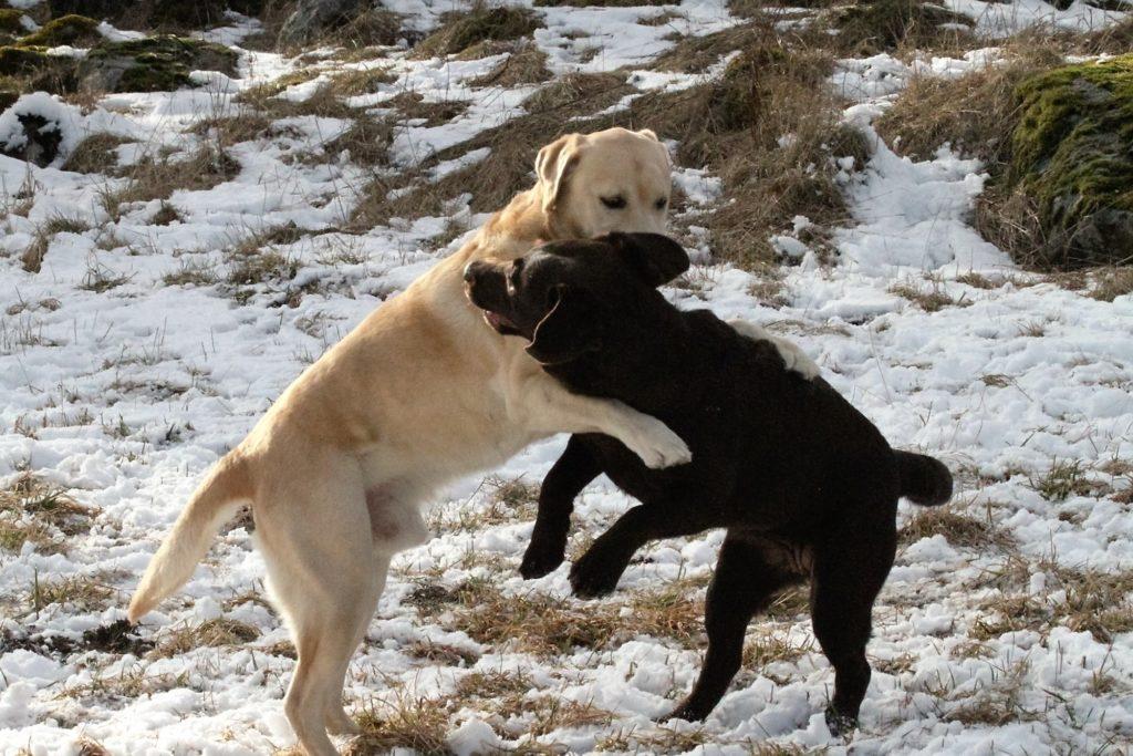 Det är många hundar som vill krama Bruna. Undrar vad denna stora stilige pojke viska i hennes öra ?